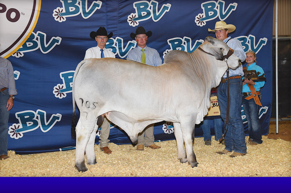 NationalBrahmanshowSlide-2015-grand-&-CALF-GRAY