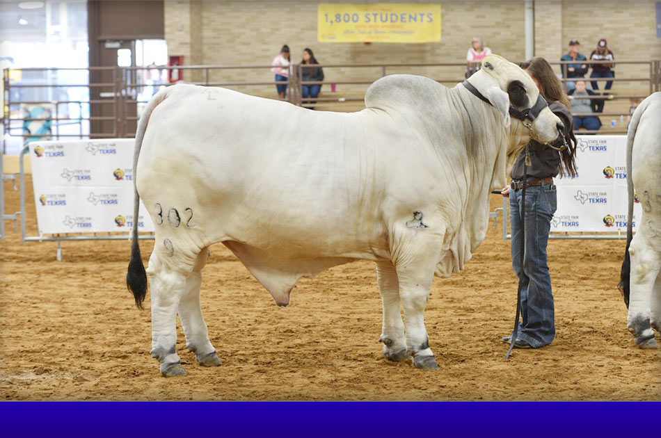 NationalBrahmanshowSlide-2018-grand-&-intermediate-gray